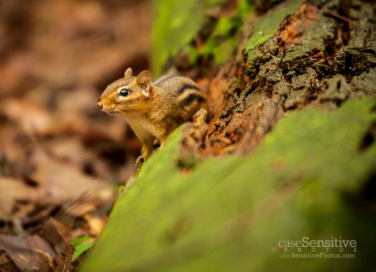 Bays Mountain Chipmunk