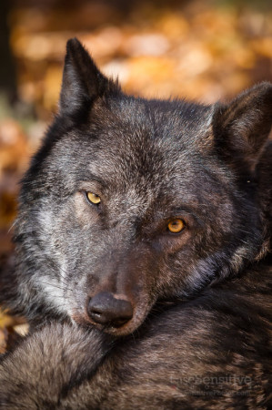 Tanasi the Gray Wolf