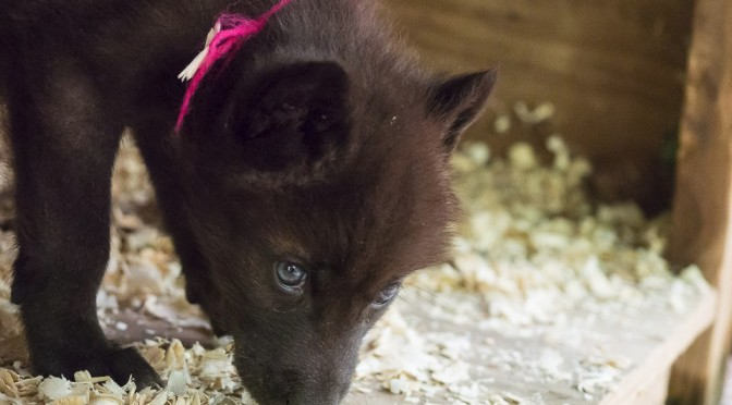 Gray Wolf Puppies Arrive at Bays Mountain Park!