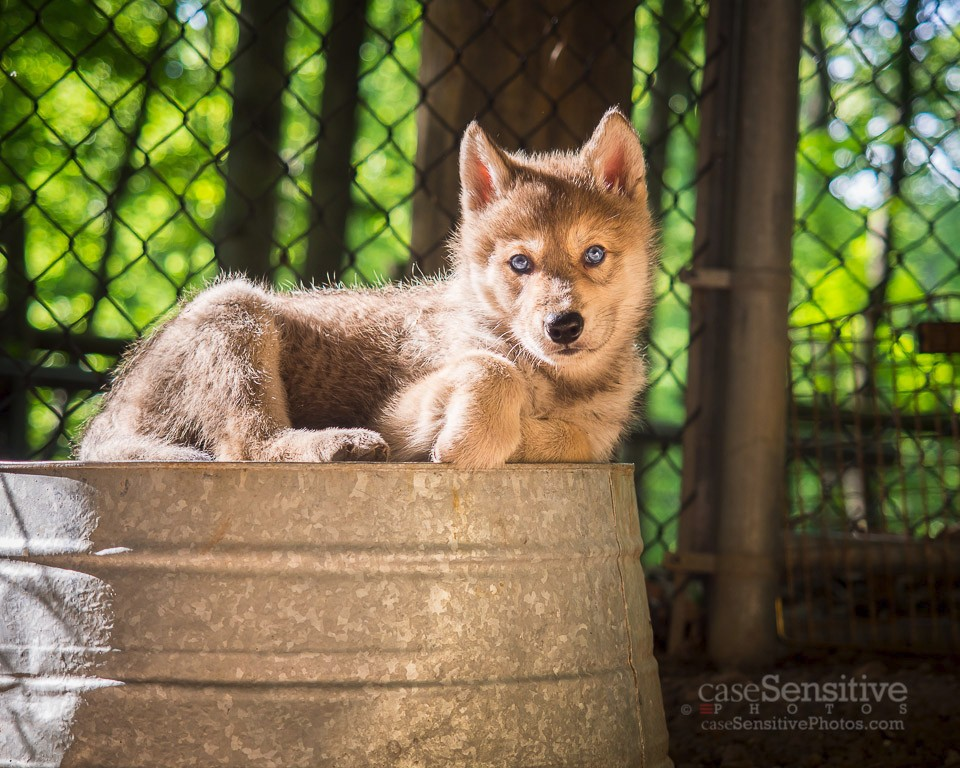 Gray Wolf Puppies Arrive At Bays Mountain Park