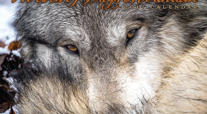 2017 Wolf Calendars Available! Buy Now!