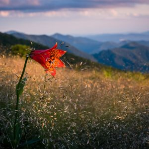 Gray's Lily on Roan